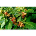 Ashwagandha Extract 2.5% and 4%, 5% (Whithania Somnifera)